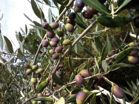 ramo-albero-ulivo